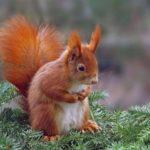 Bello ed invisibile: la storia dello scoiattolo rosso - Sciurus vulgaris