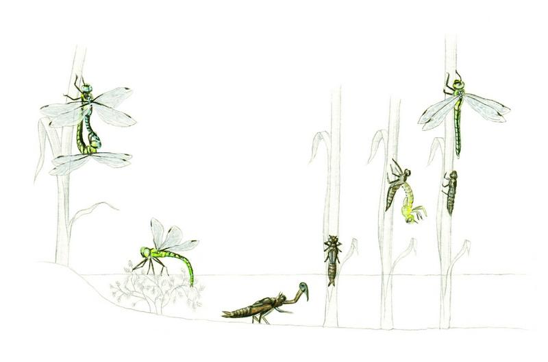 ciclo vitale della libellula