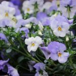 San Bernardino In Fiore omaggia fiori e km0